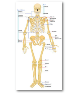 Osteologia (1) - WordPress.com